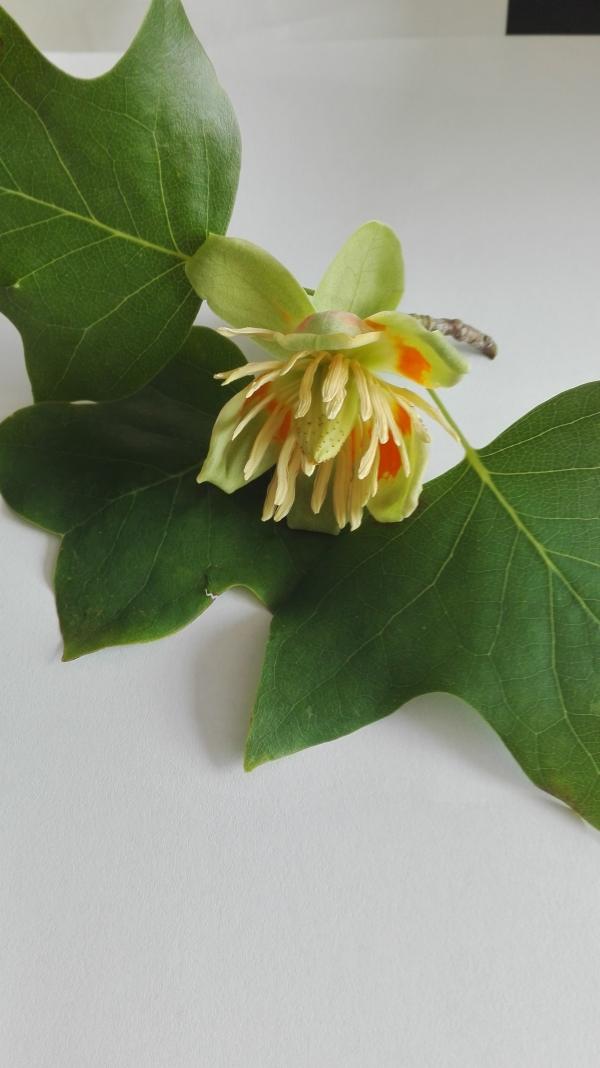 Зацвіло тюльпанне дерево